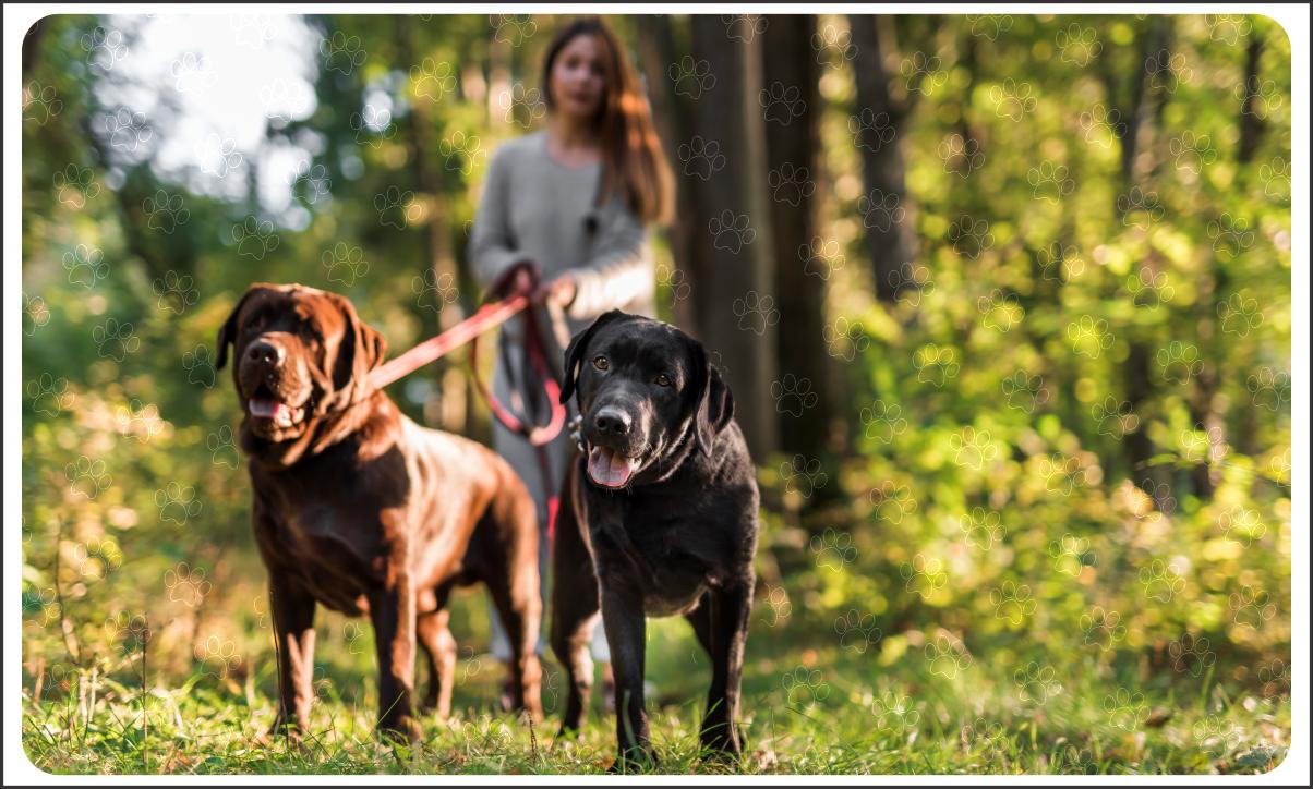 Passeador de cães com 2 labradores na coleira em uma floresta